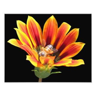 Beautiful Elegant Colorful Gazania with Honey Bee Photograph