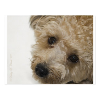 Beautiful Eyes of a Yorkie Poo Puppy Postcard