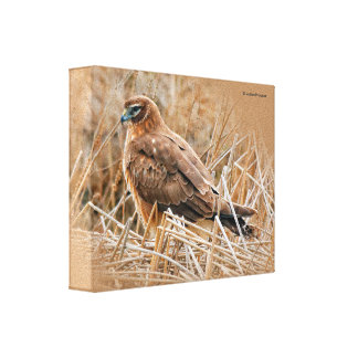 Beautiful Female Northern Harrier in the Marsh Canvas Print