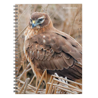 Beautiful Female Northern Harrier in the Marsh Notebooks