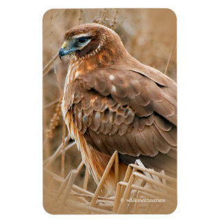 Beautiful Female Northern Harrier in the Marsh Rectangular Photo Magnet