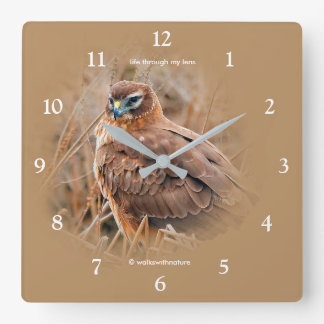Beautiful Female Northern Harrier in the Marsh Square Wall Clock