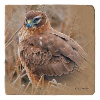 Beautiful Female Northern Harrier in the Marsh Trivets