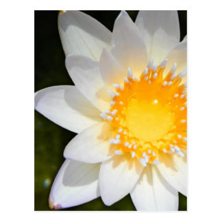 Beautiful flower white water lily postcards