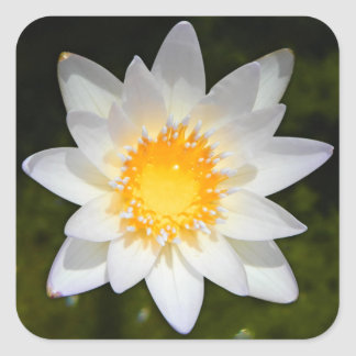 Beautiful flower white water lily square sticker