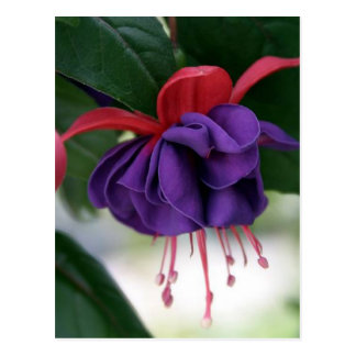 Beautiful Fuchsia Postcard
