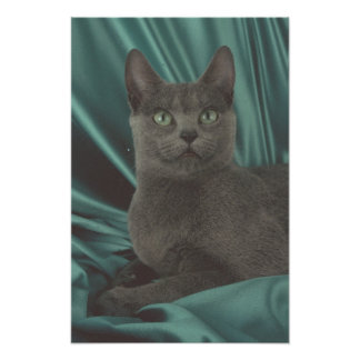 Beautiful Grey Cat Picture Poster