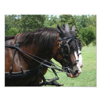 Beautiful hackney working horses photo print