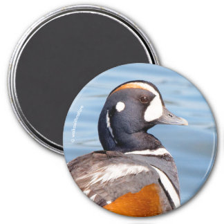 Beautiful Harlequin Duck on the Rock Magnet