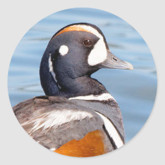 Beautiful Harlequin Duck on the Rock Round Sticker