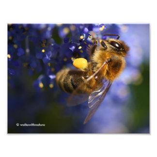 Beautiful Honeybee on the California Lilac Art Photo