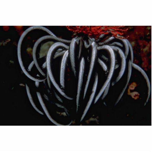 Beautiful Indo-Pacific feather star Acrylic Cut Outs