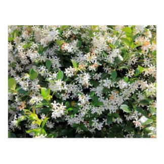 Beautiful Jasmine Flowers Postcard