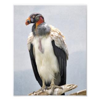 Beautiful King Vulture Photographic Print