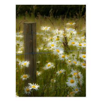 Beautiful Large Daisies Postcard