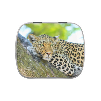 Beautiful leopard with green eyes jelly belly tin