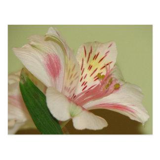 Beautiful Lily Postcard