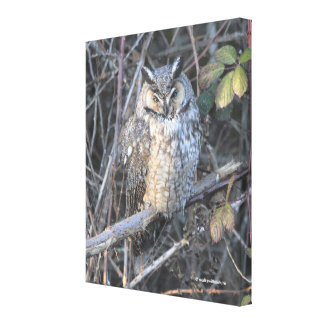 Beautiful Long-Eared Owl at Sunset Canvas Print