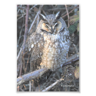 Beautiful Long-Eared Owl at Sunset Photo Print