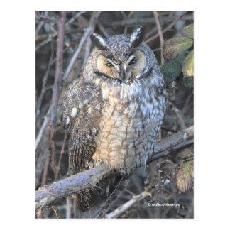 Beautiful Long-Eared Owl at Sunset Postcard