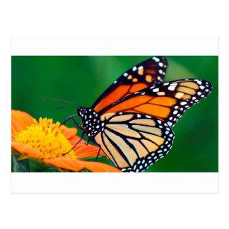 Beautiful Monarch Butterfly Postcard