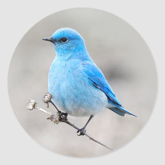 Beautiful Mountain Bluebird Classic Round Sticker