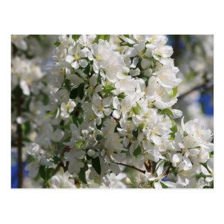 Beautiful Nature Photo Of White Apple Blossom Postcard