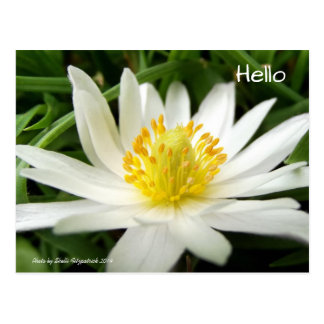 Beautiful Nature Photo of White Wildflower Postcard