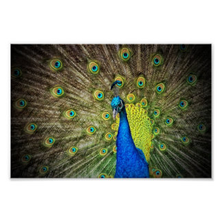 Beautiful Peacock Photo Poster