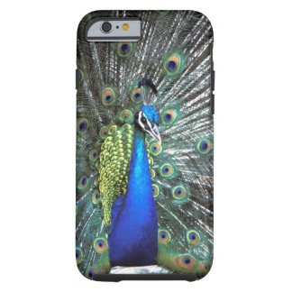 Beautiful peacock spreading colourful feathers tough iPhone 6 case