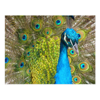 Beautiful Peacock Stunning Green Bird Postcard