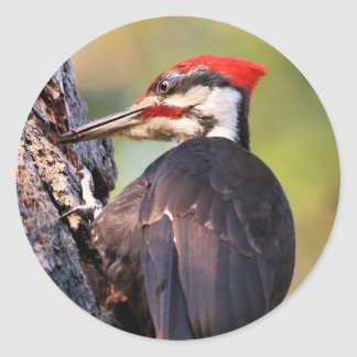 Beautiful Pileated Woodpecker on the Tree Classic Round Sticker