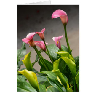 Beautiful pink calla lily greeting card