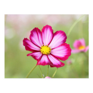 Beautiful pink cosmos flower postcard