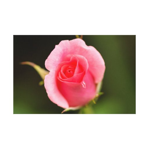Beautiful pink rose blossom gallery wrap canvas