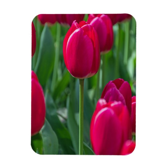 Beautiful pink tulips fridge magnet