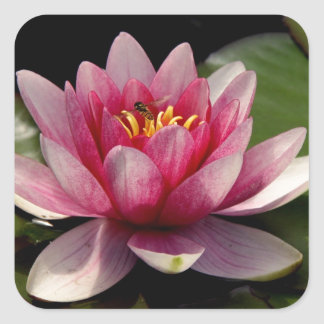 Beautiful pink water lily square sticker