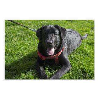 Beautiful printed photograph of a black Labrador