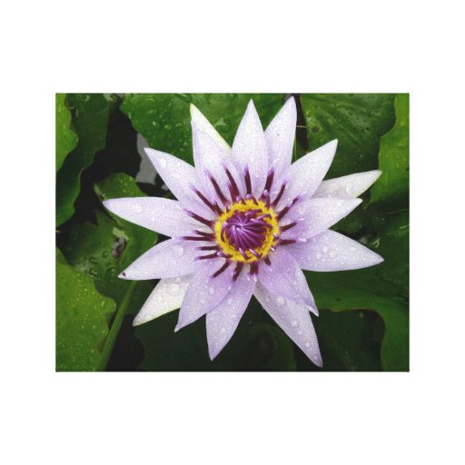 Beautiful Purple Water Lily Gallery Wrap Canvas