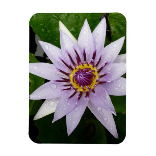 Beautiful Purple Water Lily Rectangle Magnet