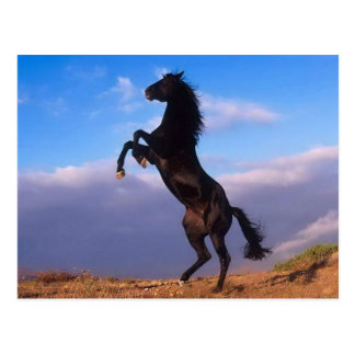 Beautiful rearing black horse with blue sky photo postcard