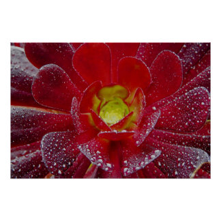 Beautiful red flower with water drops poster