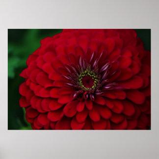 Beautiful Red Garden Zinnia Flower Poster
