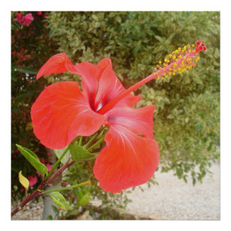 Beautiful Red Hibiscus Flower With Garden Backgrou Poster