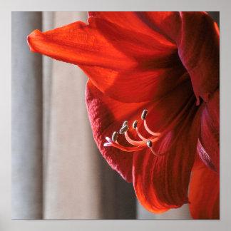 Beautiful Red Lion Amaryllis Flower Poster