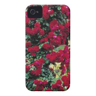 Beautiful Roses iPhone 4 Cover