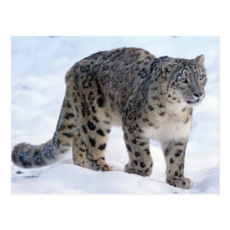 Beautiful snow leopard postcard