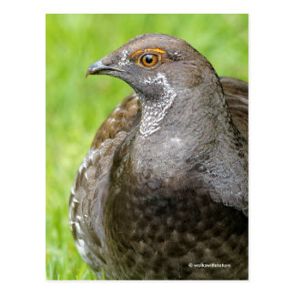 Beautiful Sooty Grouse in the Grass Postcard