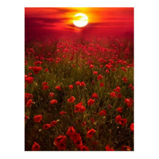 Beautiful sunset over field of red flowers postcard