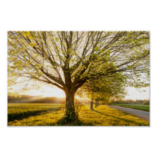 Beautiful sunset through a line of spring trees poster
